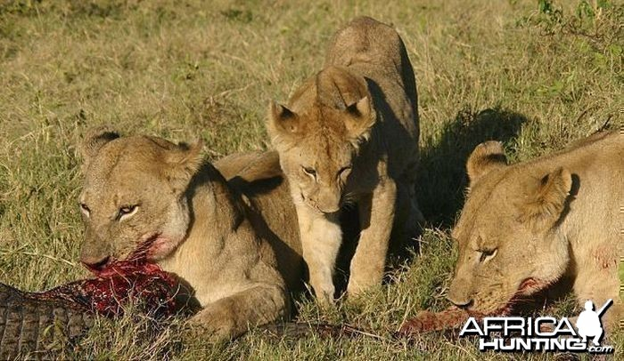 Lionesses kill Crocodile