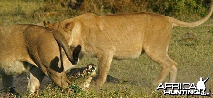 Lionesses kill Crocodile