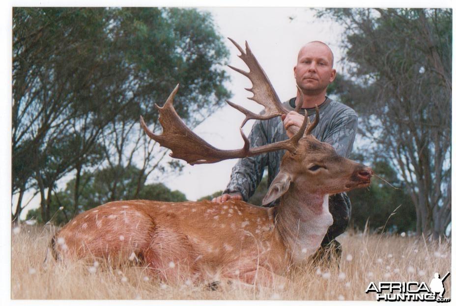 Fallow buck, Aus.