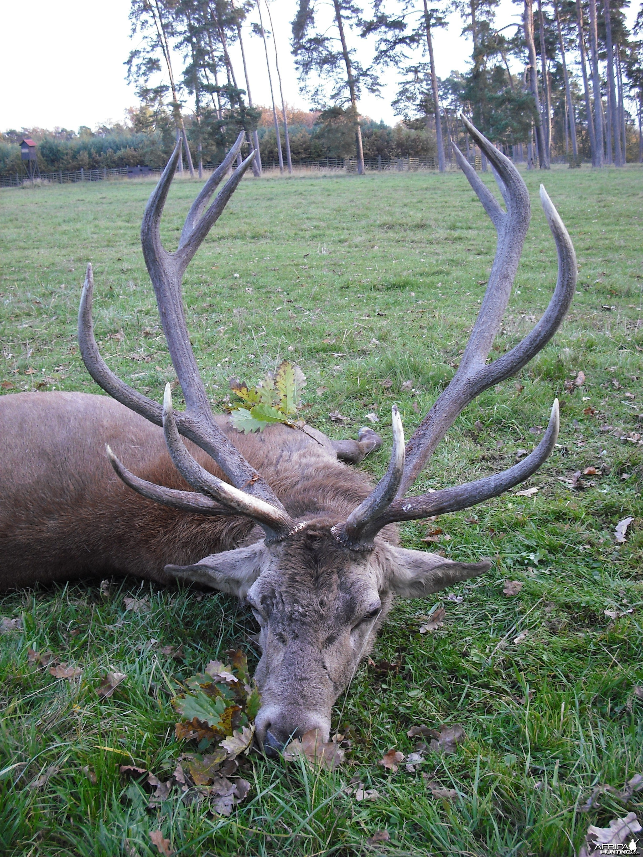 Hunting Gold Medal red stag
