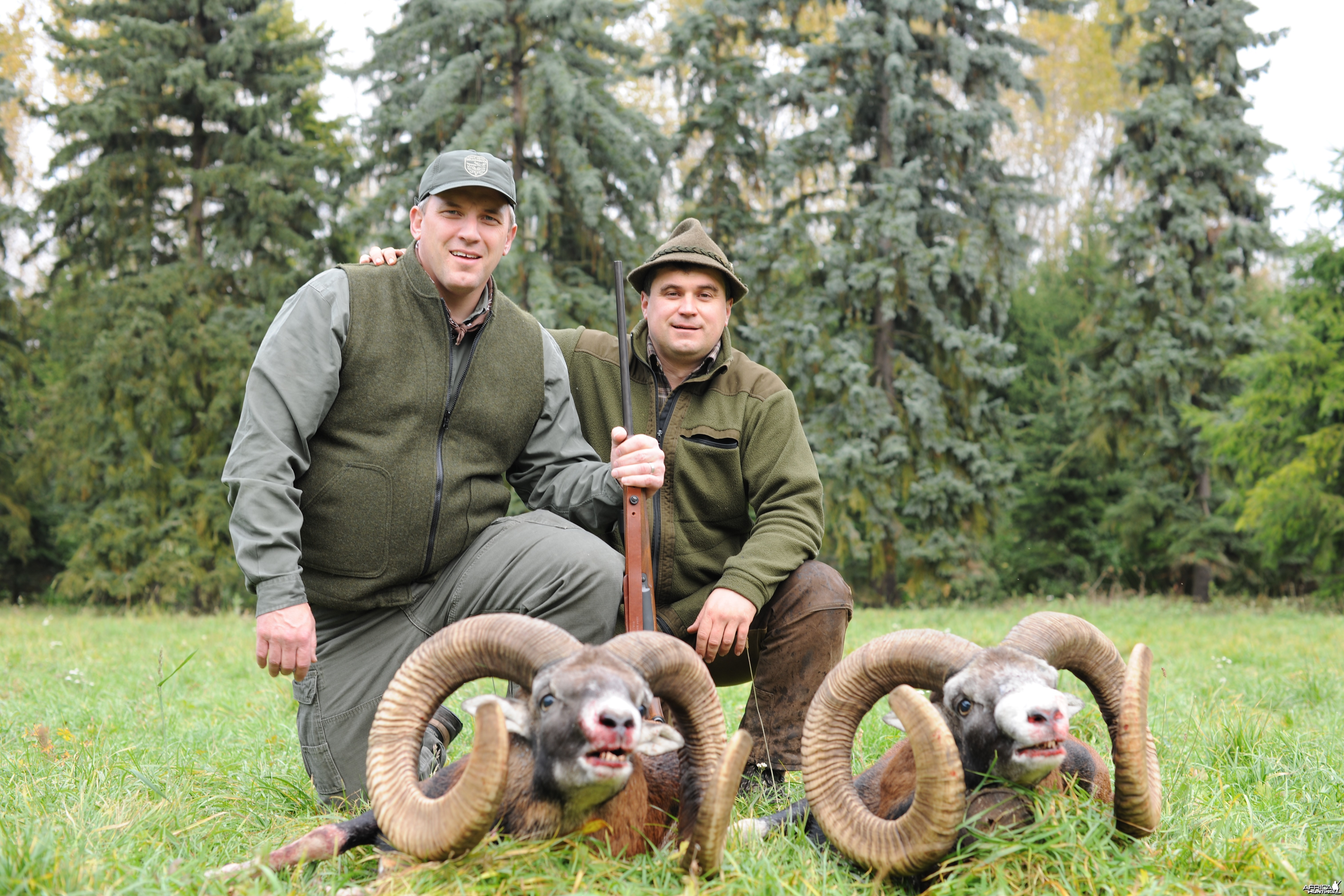 Hunting Golden trophy mouflon Czech republic