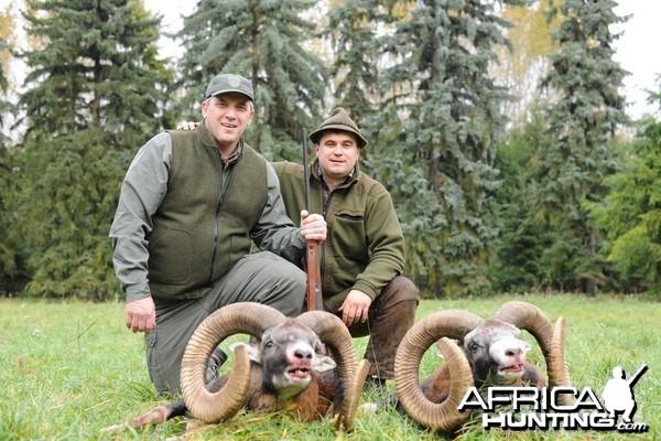 Hunting Golden trophy mouflon Czech republic