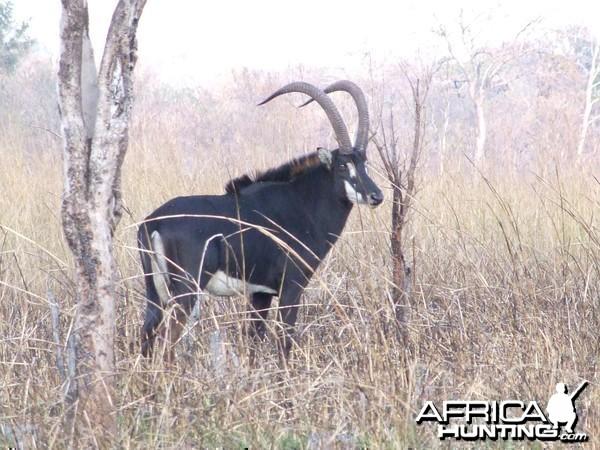 Hunting Sable Zambia