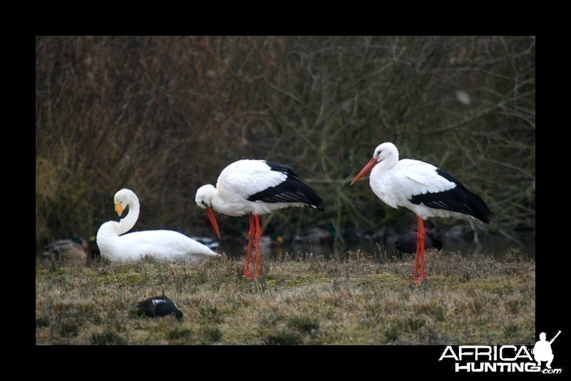 Whooper Swan and White Stork