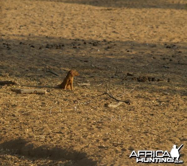 Red Mangoose Namibia