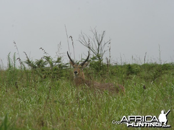 Reedbuck Ram In Typical Habitat