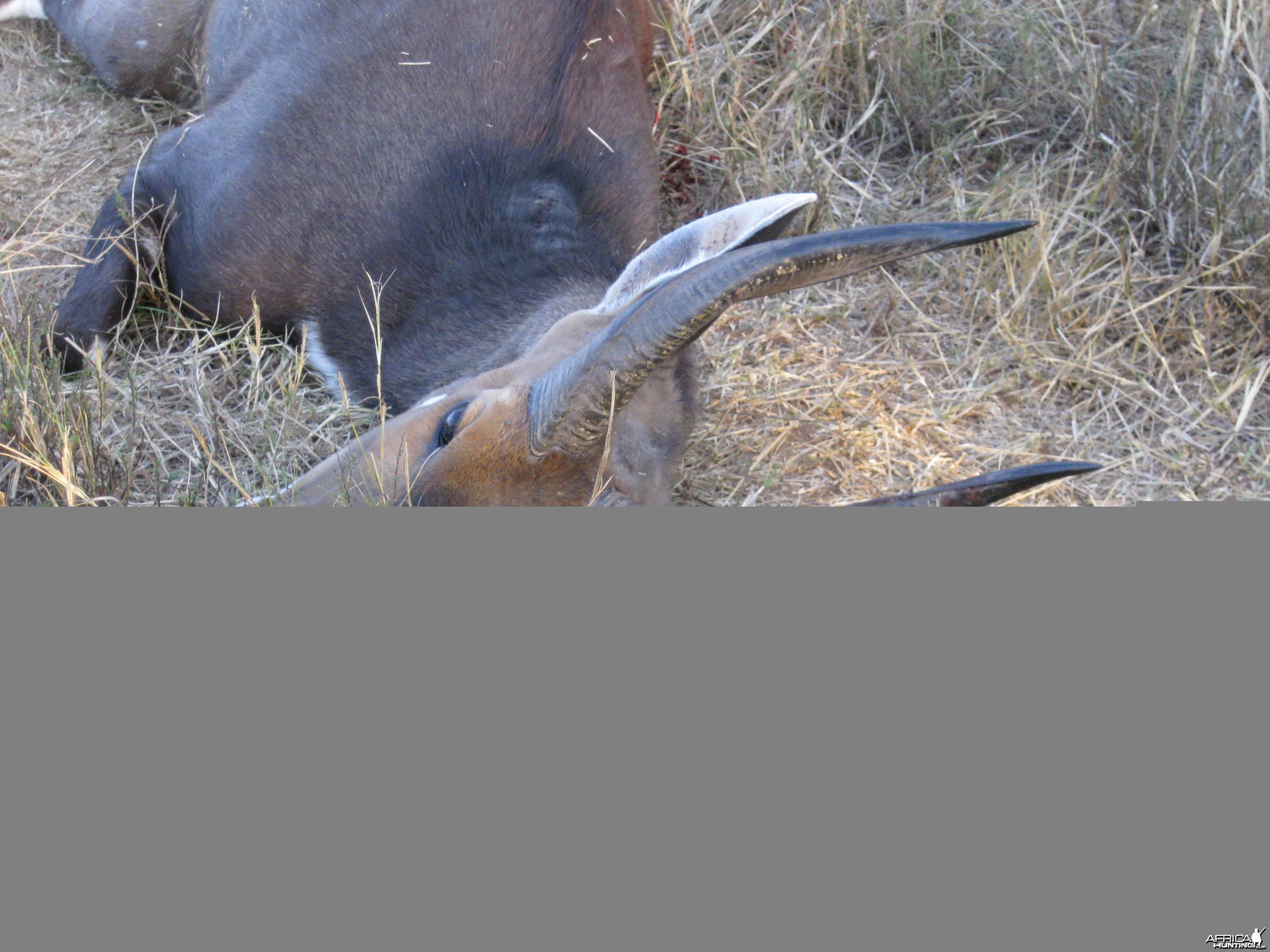 Limpopo bushbuck