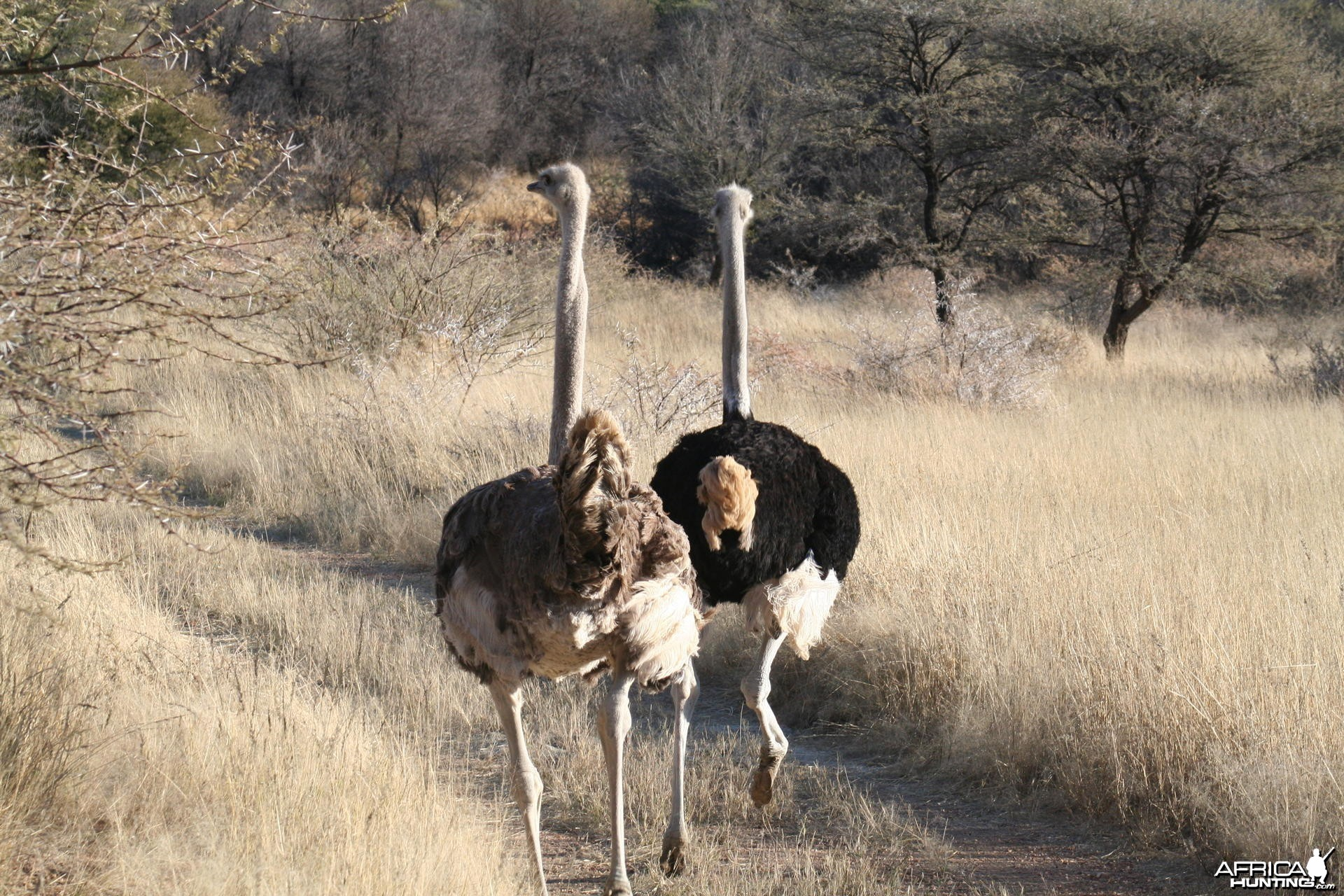 Ostrich in Namibia