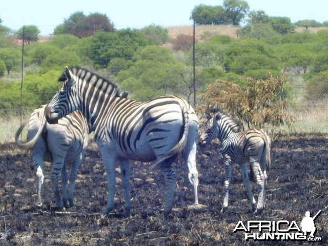 Zebra breed very well in my area