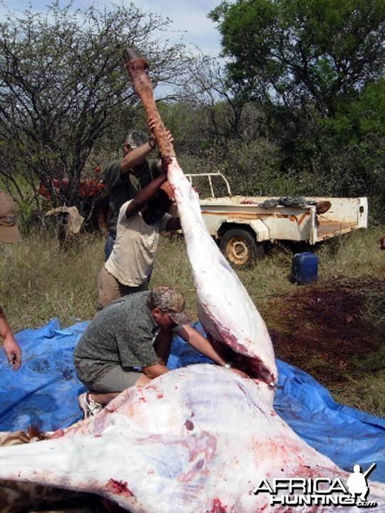 Giraffe Slaughter