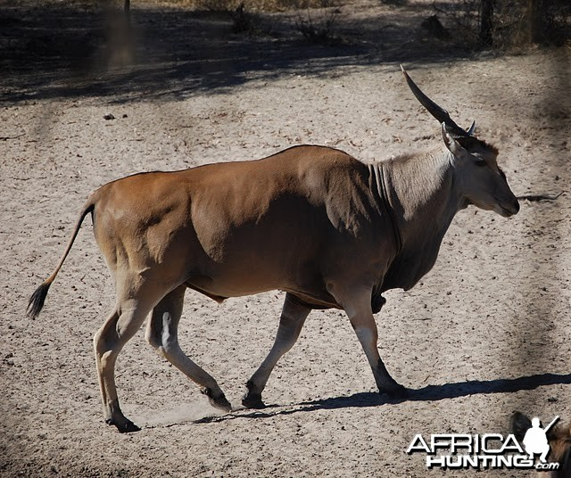 Eland Namibia