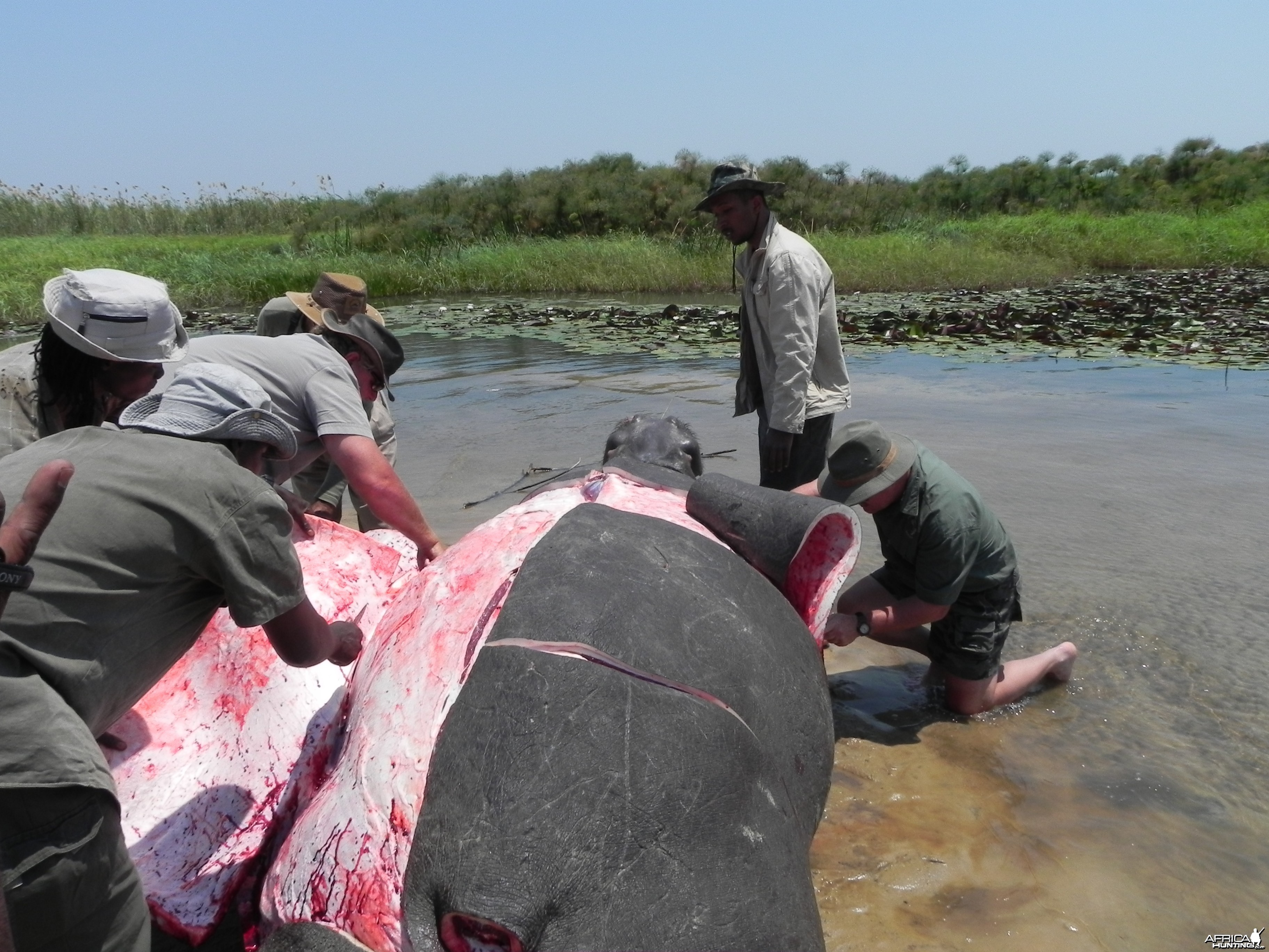 Hippo Slaughtering