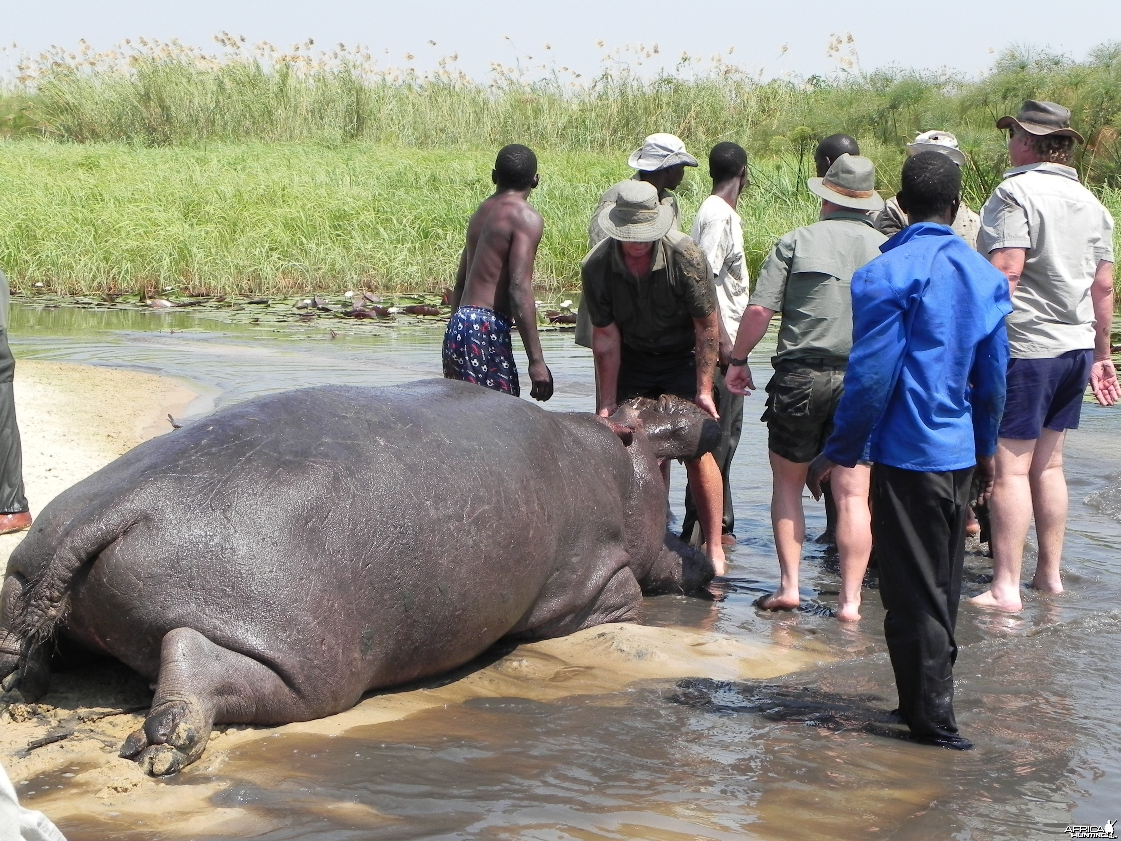 Bringing Hippo on Riverbank Caprivi Namibia