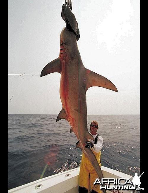 Scallop Hammerhead Shark