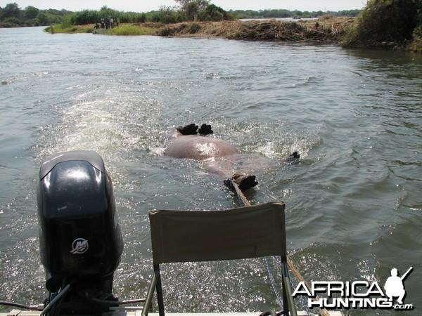 Bringing Hippo on Riverbank Caprivi Namibia