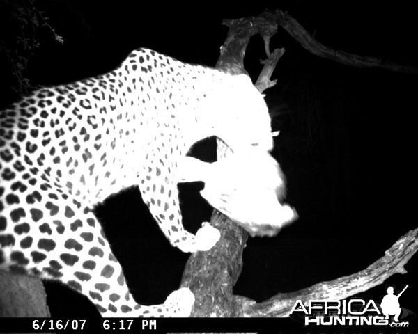Leopard on Bait at Ozondjahe Safaris Namibia