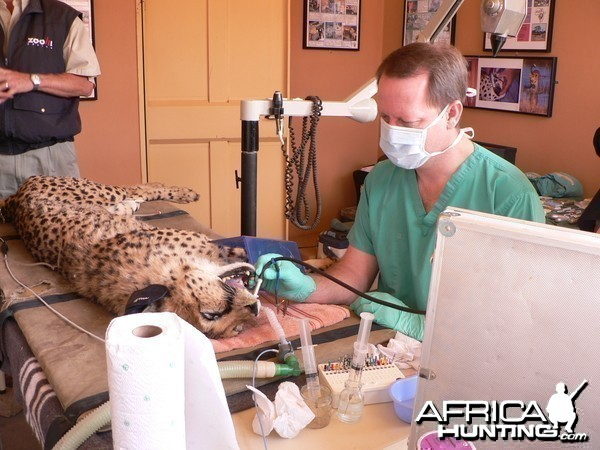 Cheetah at the Cheetah Conservation Fund in Namibia