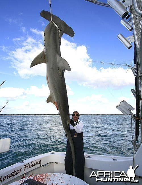 Record Greater Hammerhead Shark