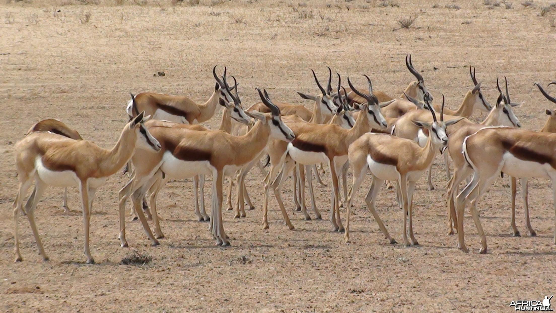 Springbok Etosha Namibia