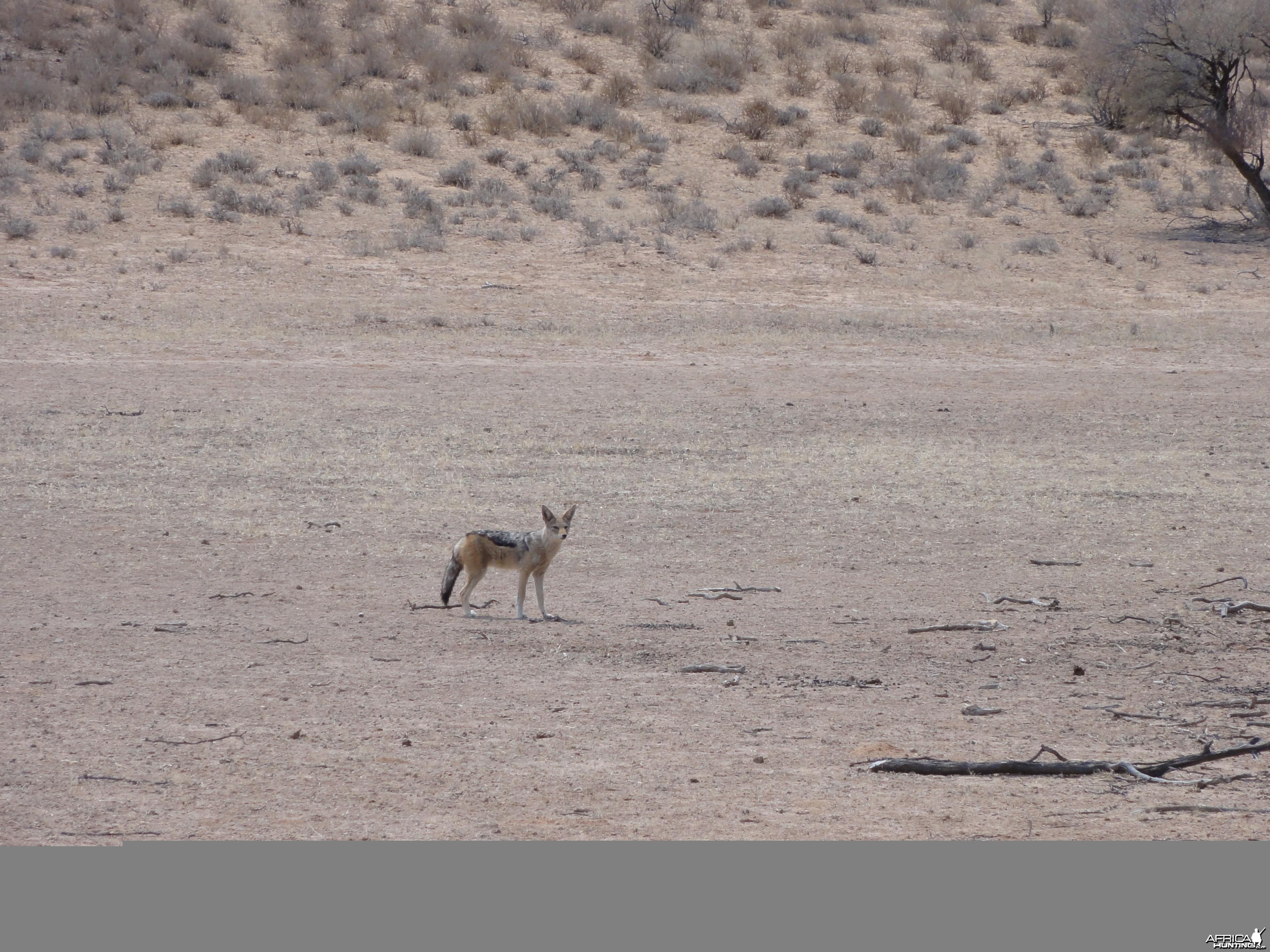 Jackal Namibia