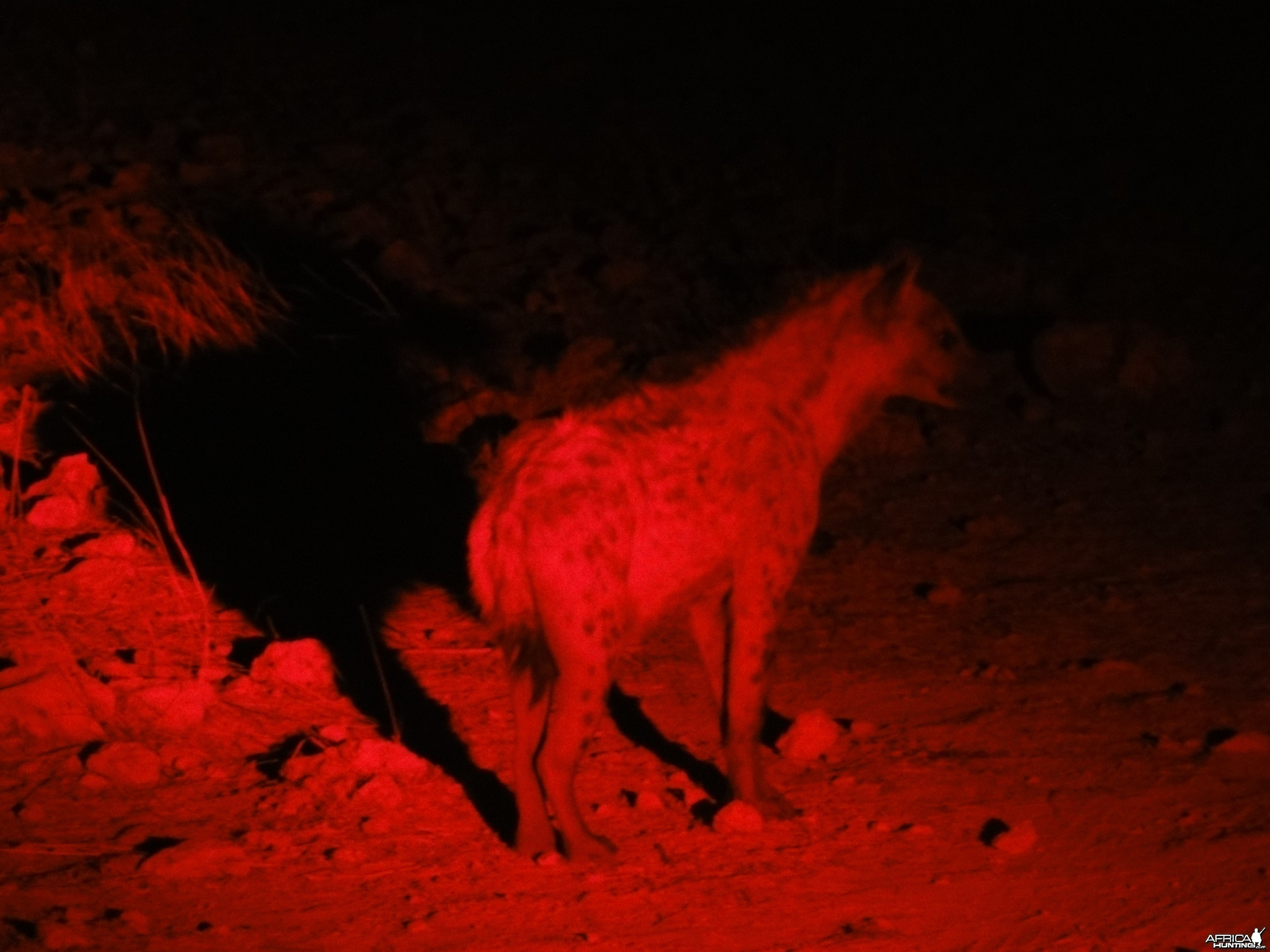 Spotted Hyena Namibia