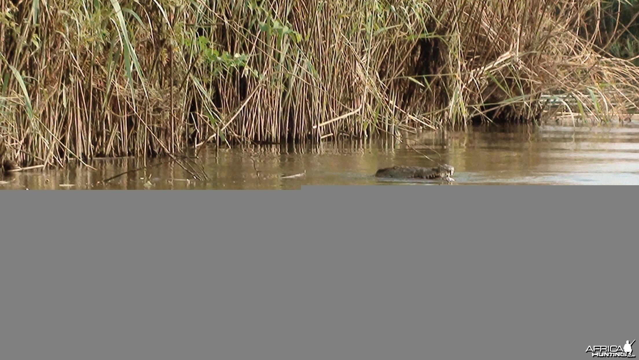 Croc Caprivi Namibia