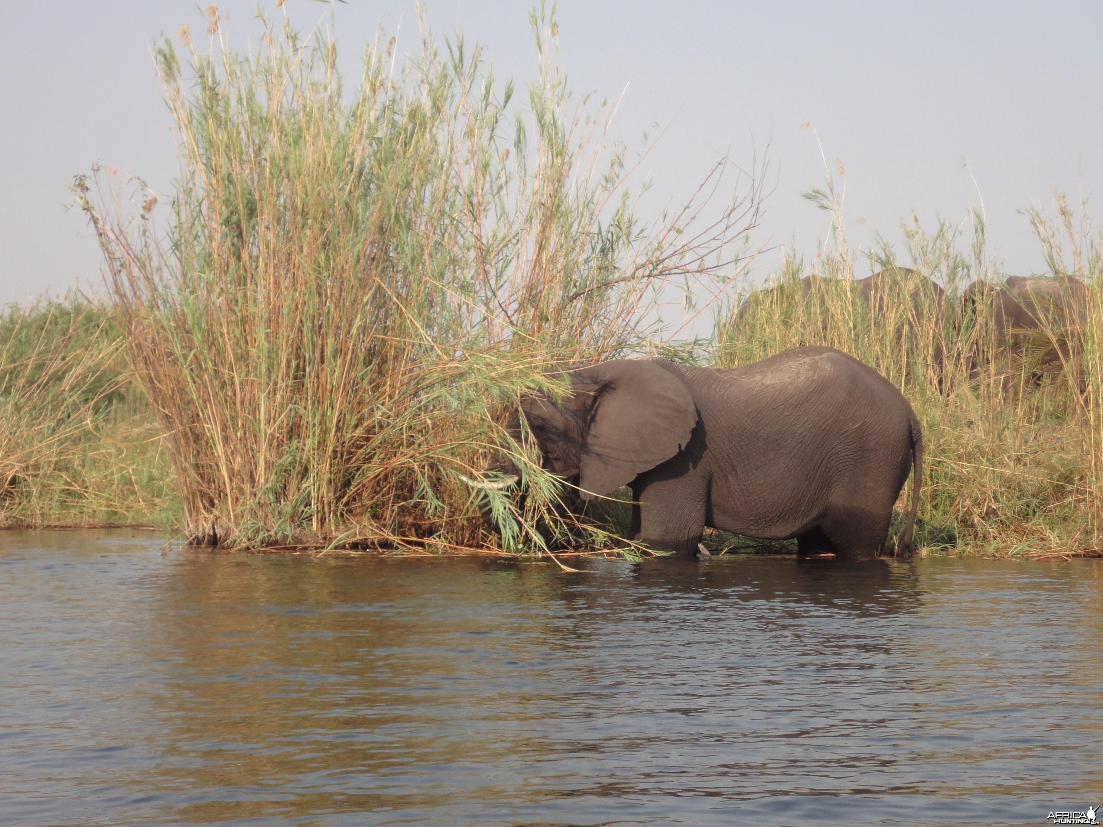 Elephant Caprivi Namibia