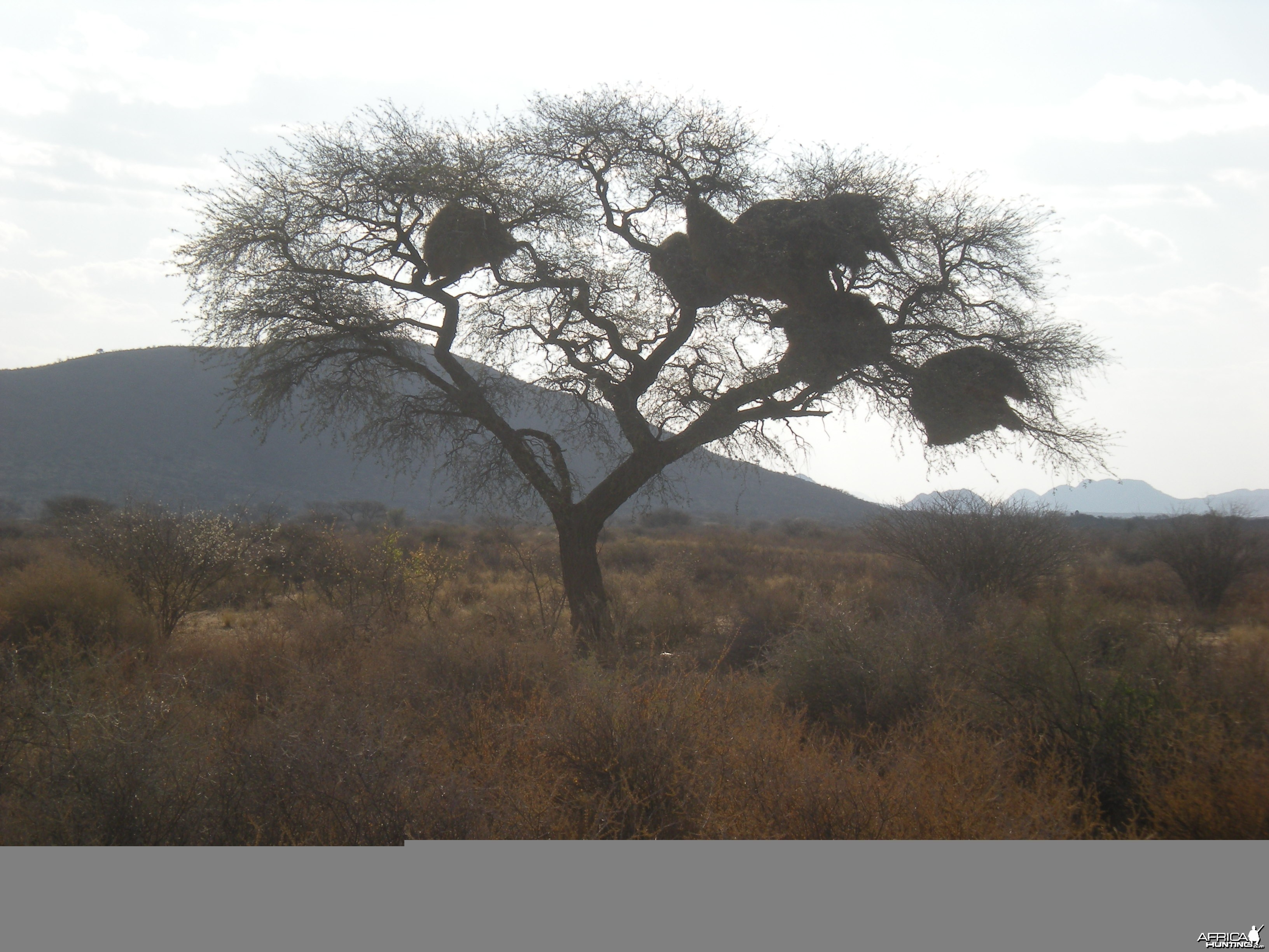 Weaver Nest Tree Namibia