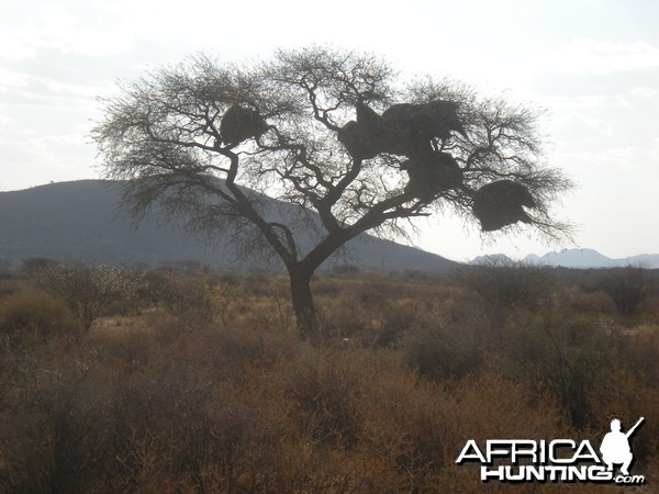 Weaver Nest Tree Namibia
