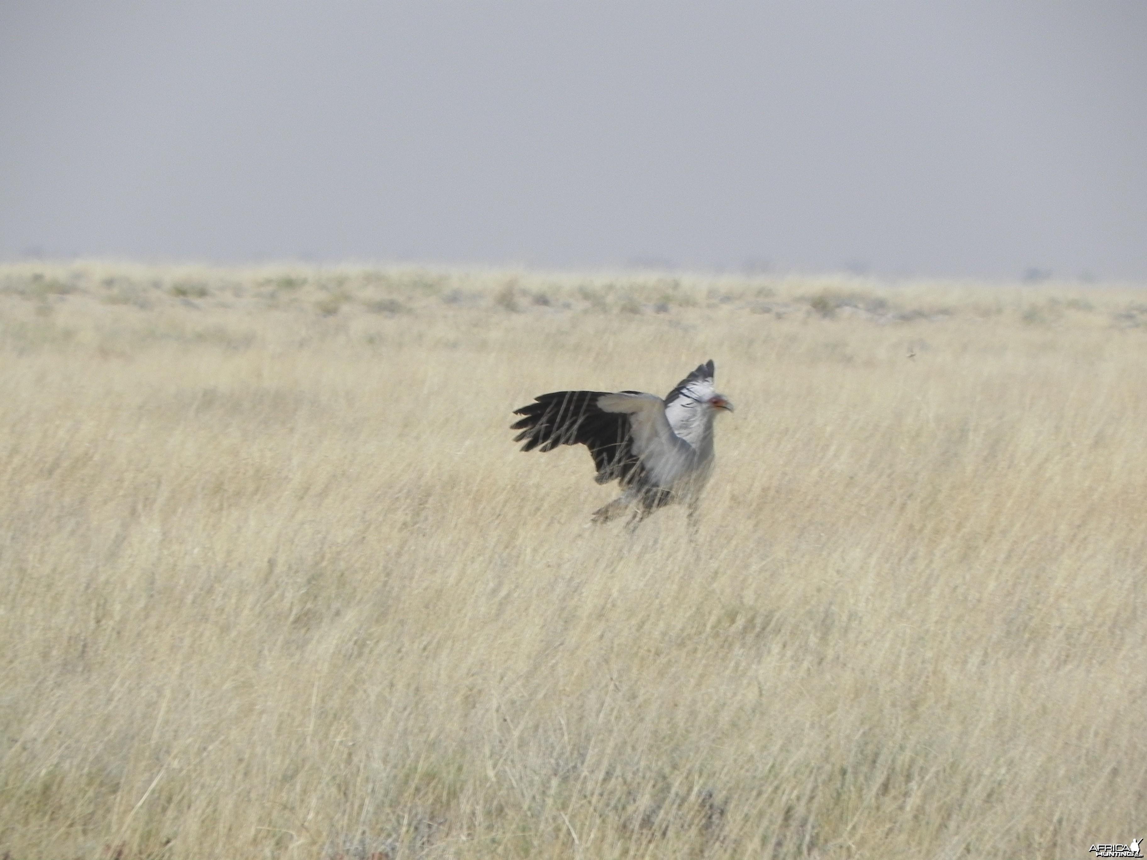 Secretary Bird Etosha Namibia