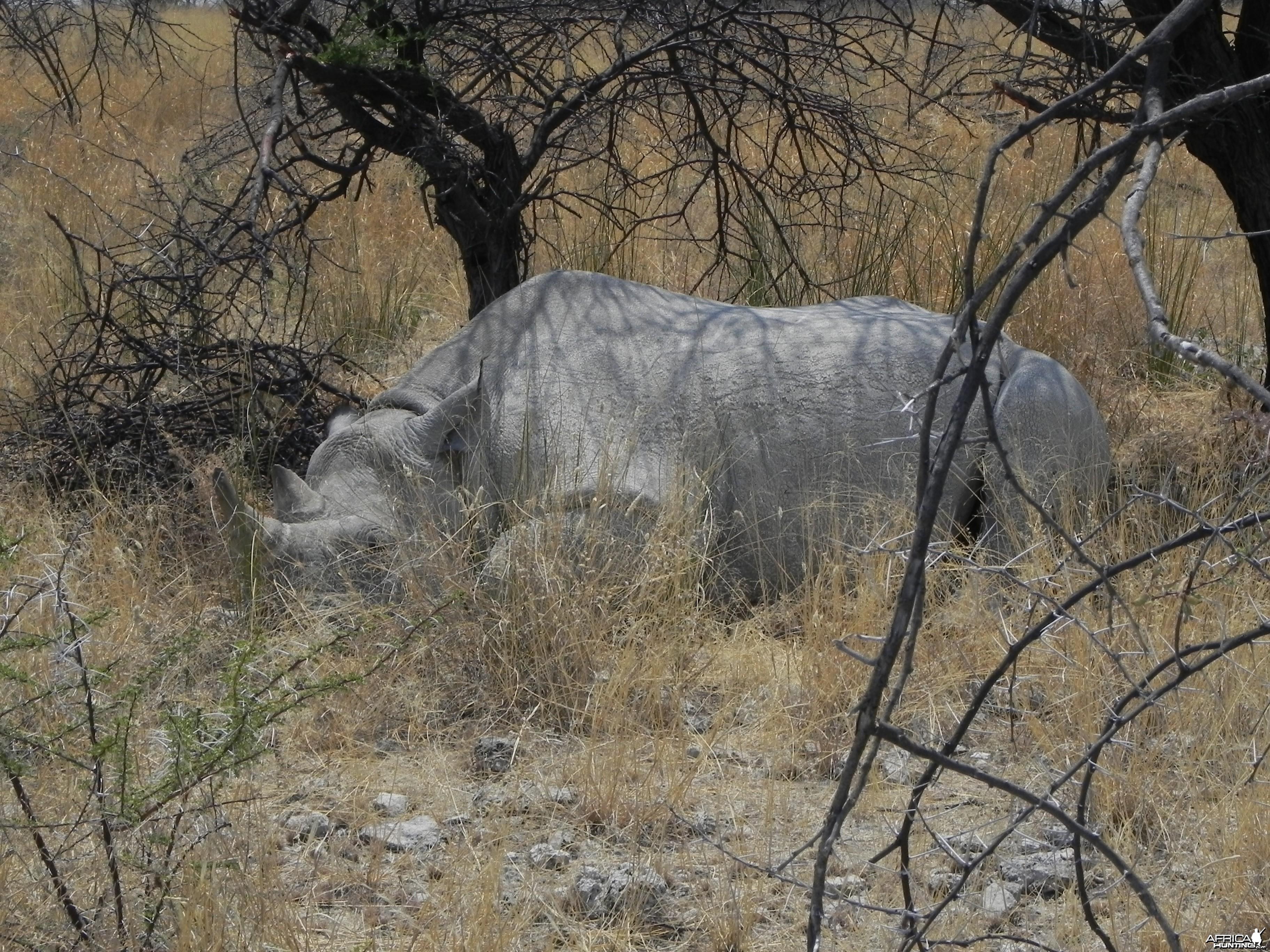 Black Rhino Etosha Namibia