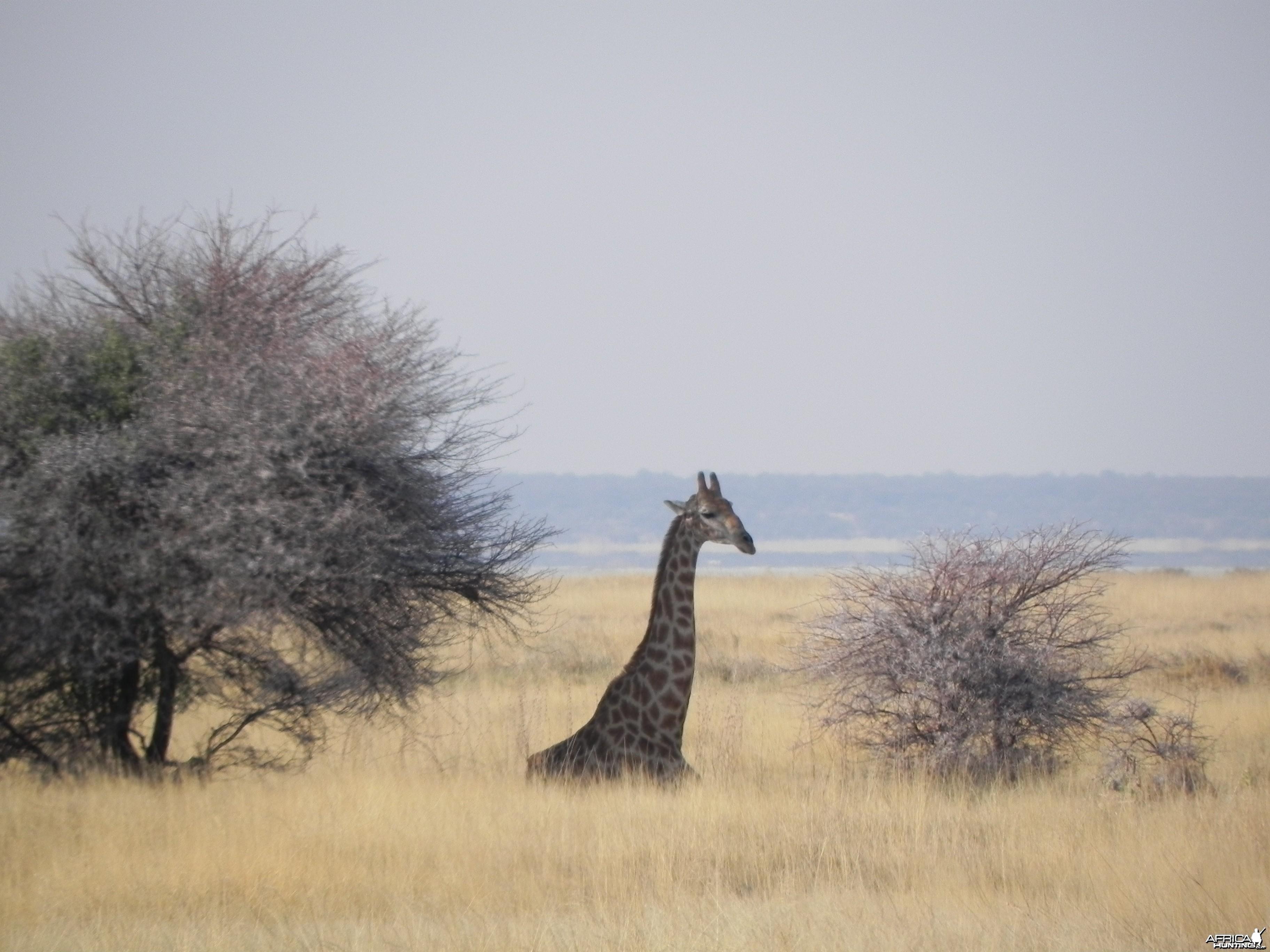 Giraffe Etosha Namibia