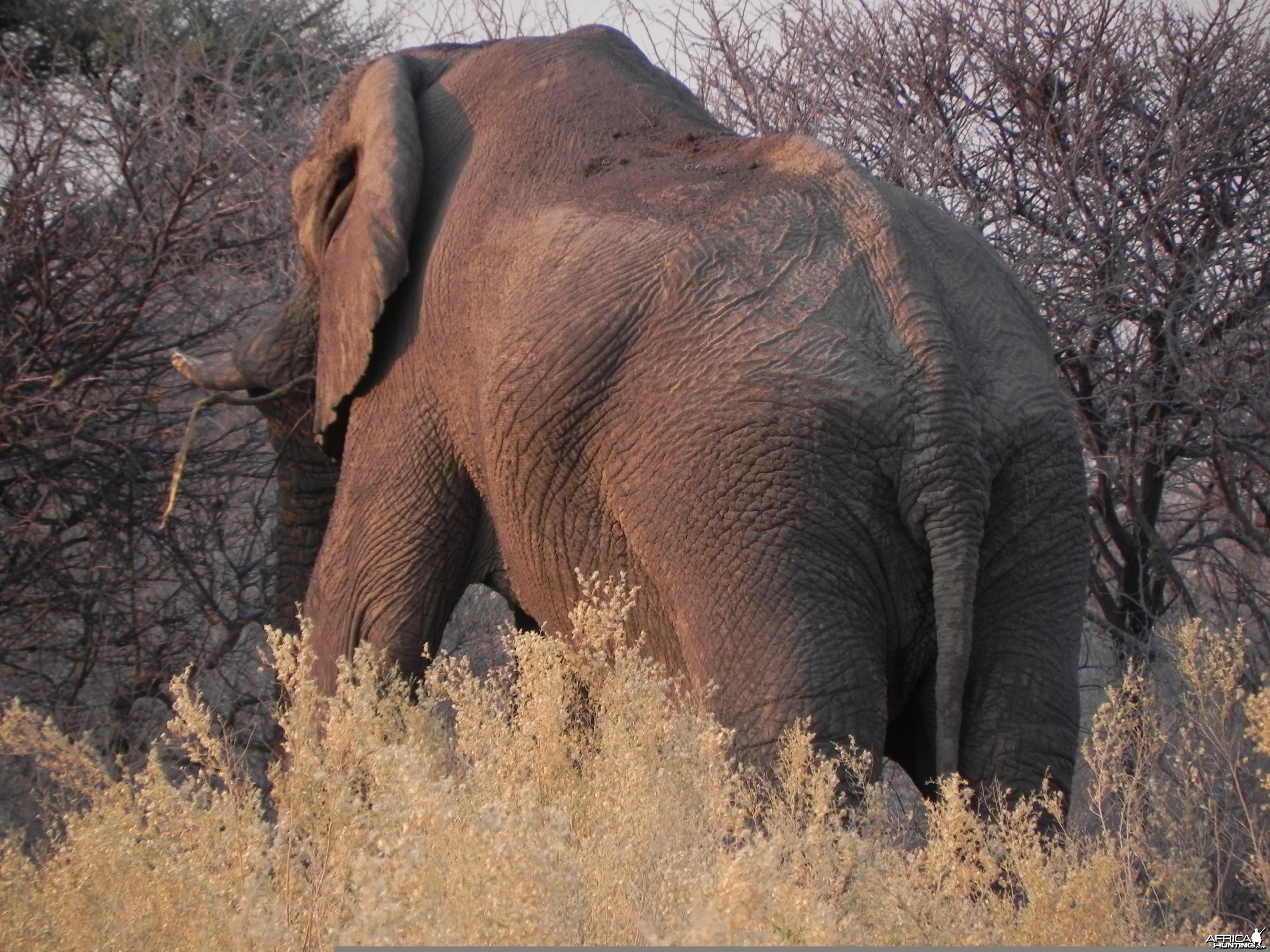 Elephant Etosha Namibia