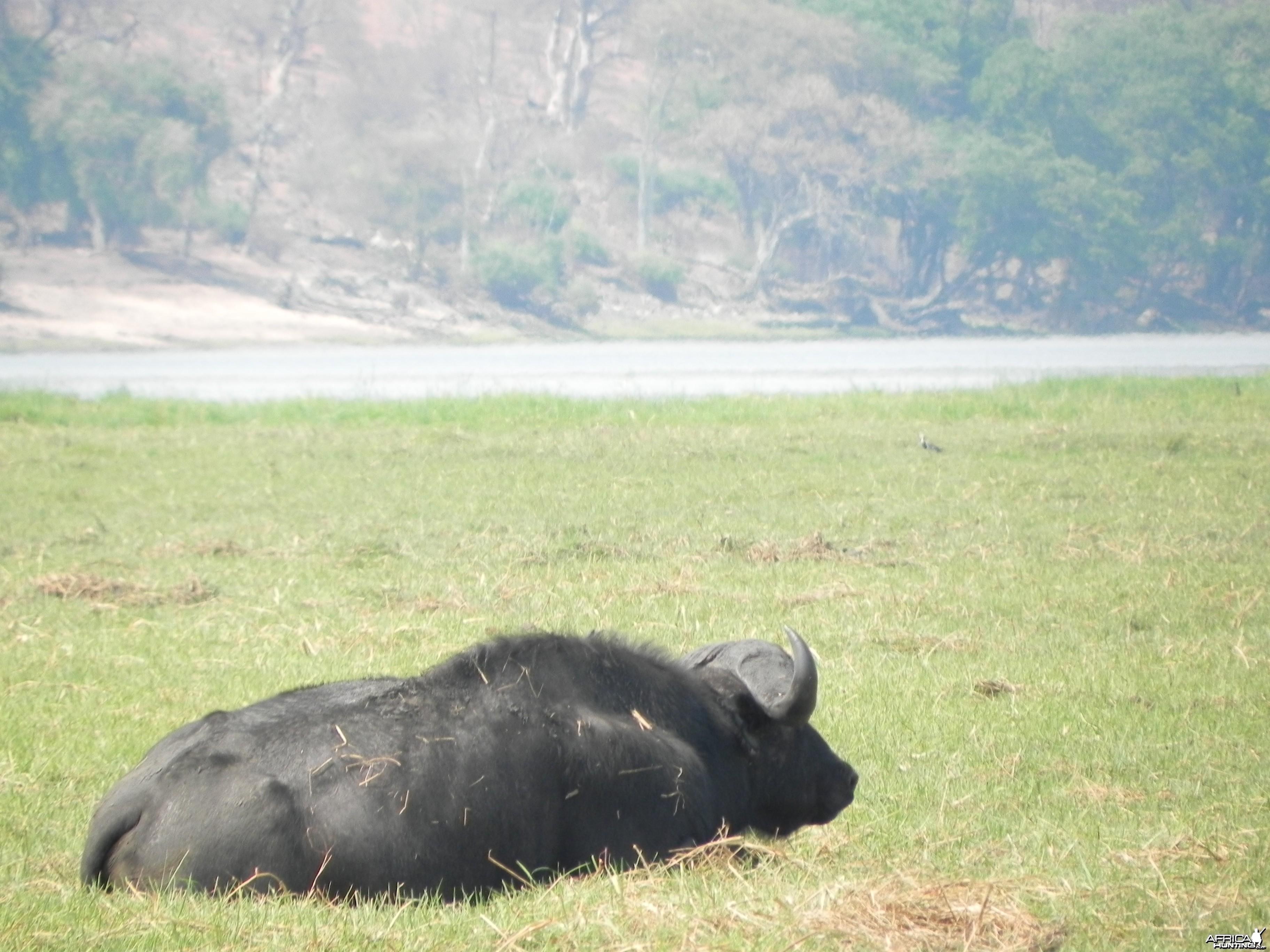 Buffalo Caprivi Namibia