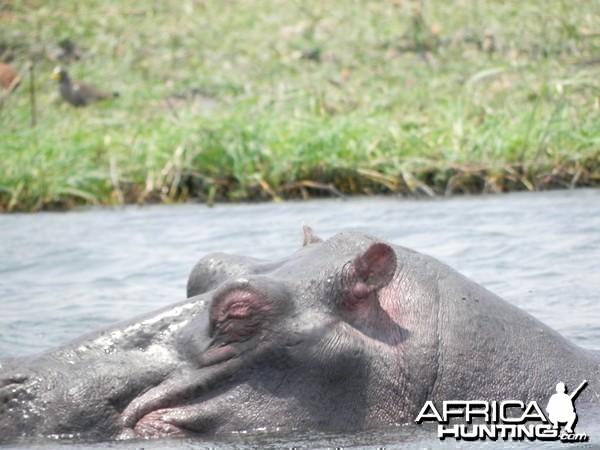 Hippo Caprivi Namibia