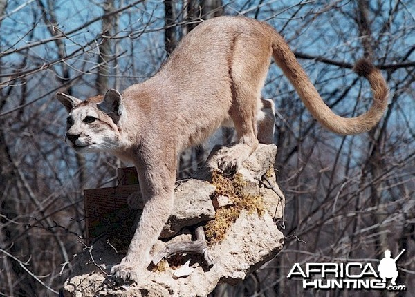 Argentinean Puma