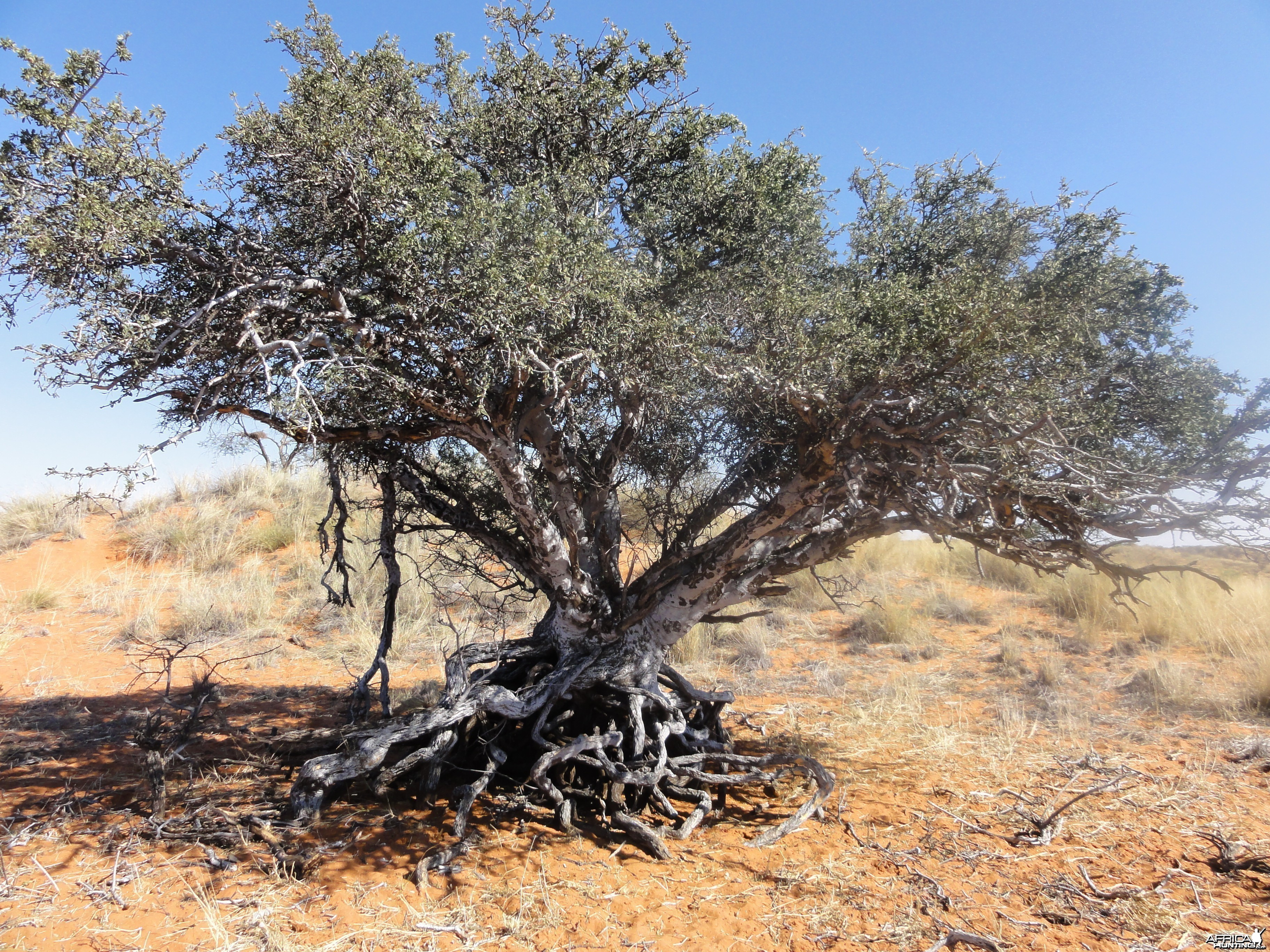 Tree Namibia