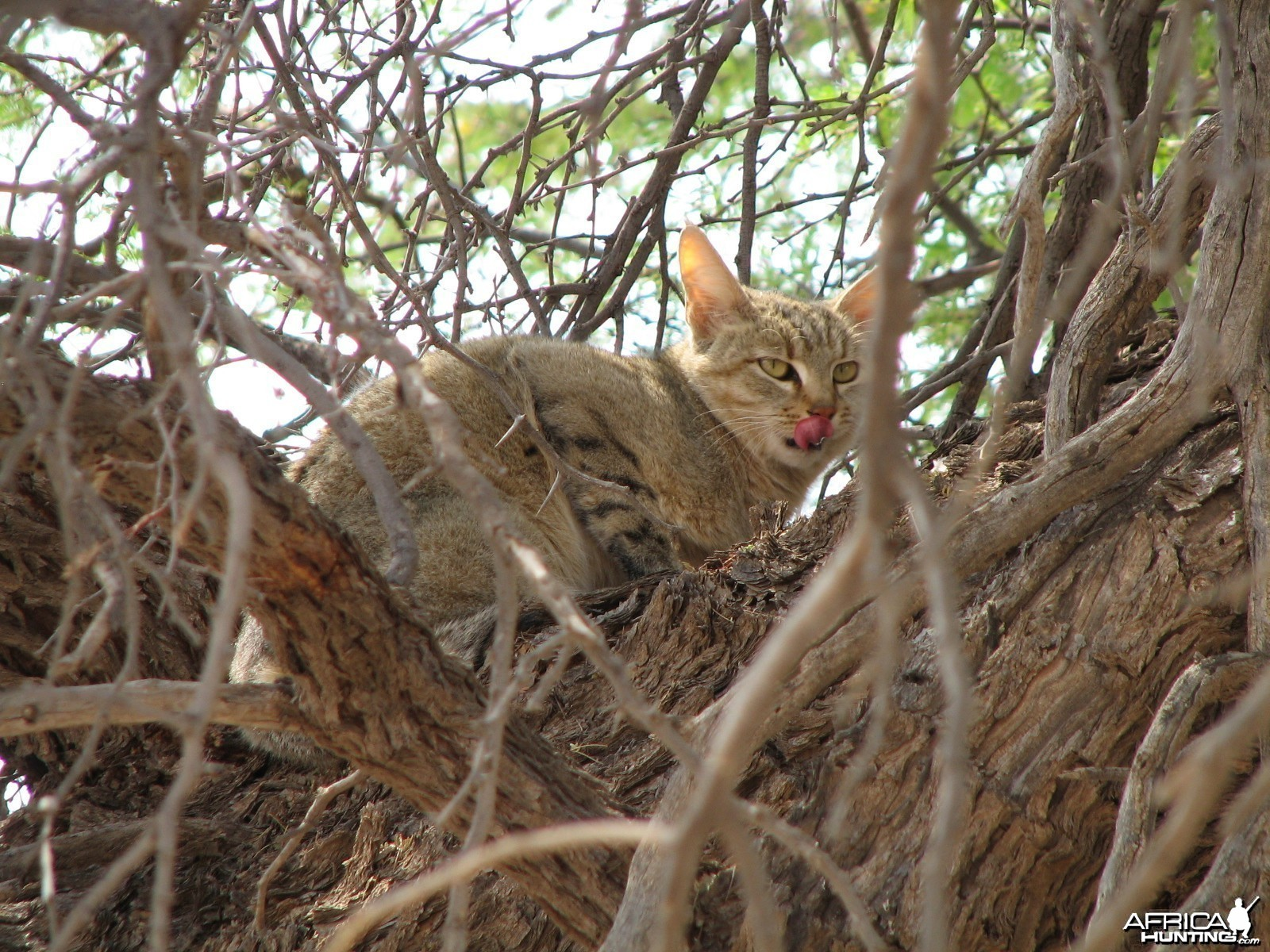 African Wild Cat Namibia