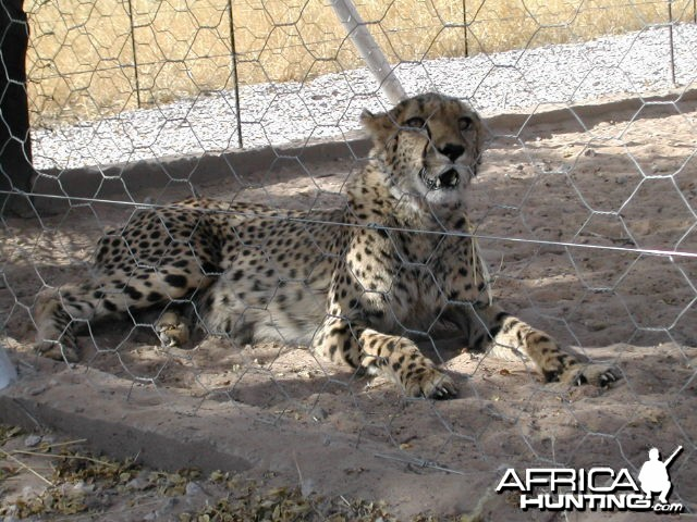 Cheetah in Captivity Namibia