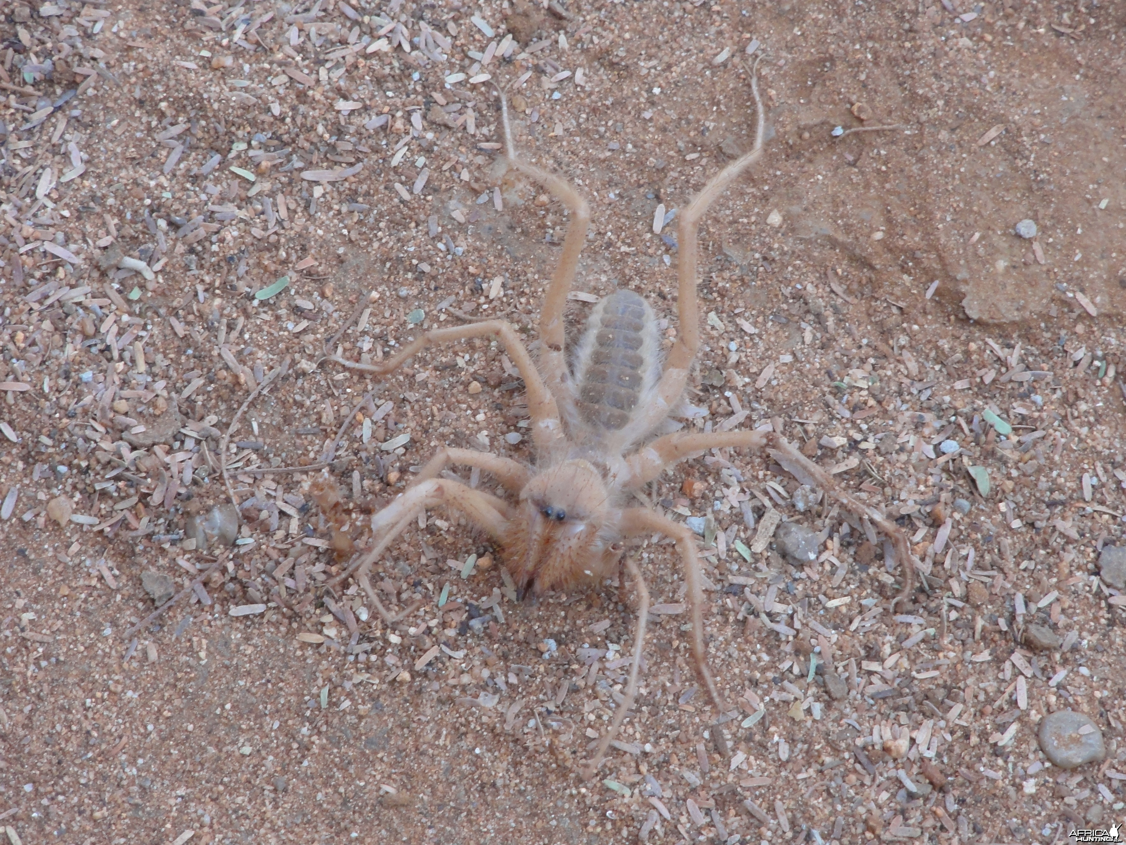 Camel Spider Namibia