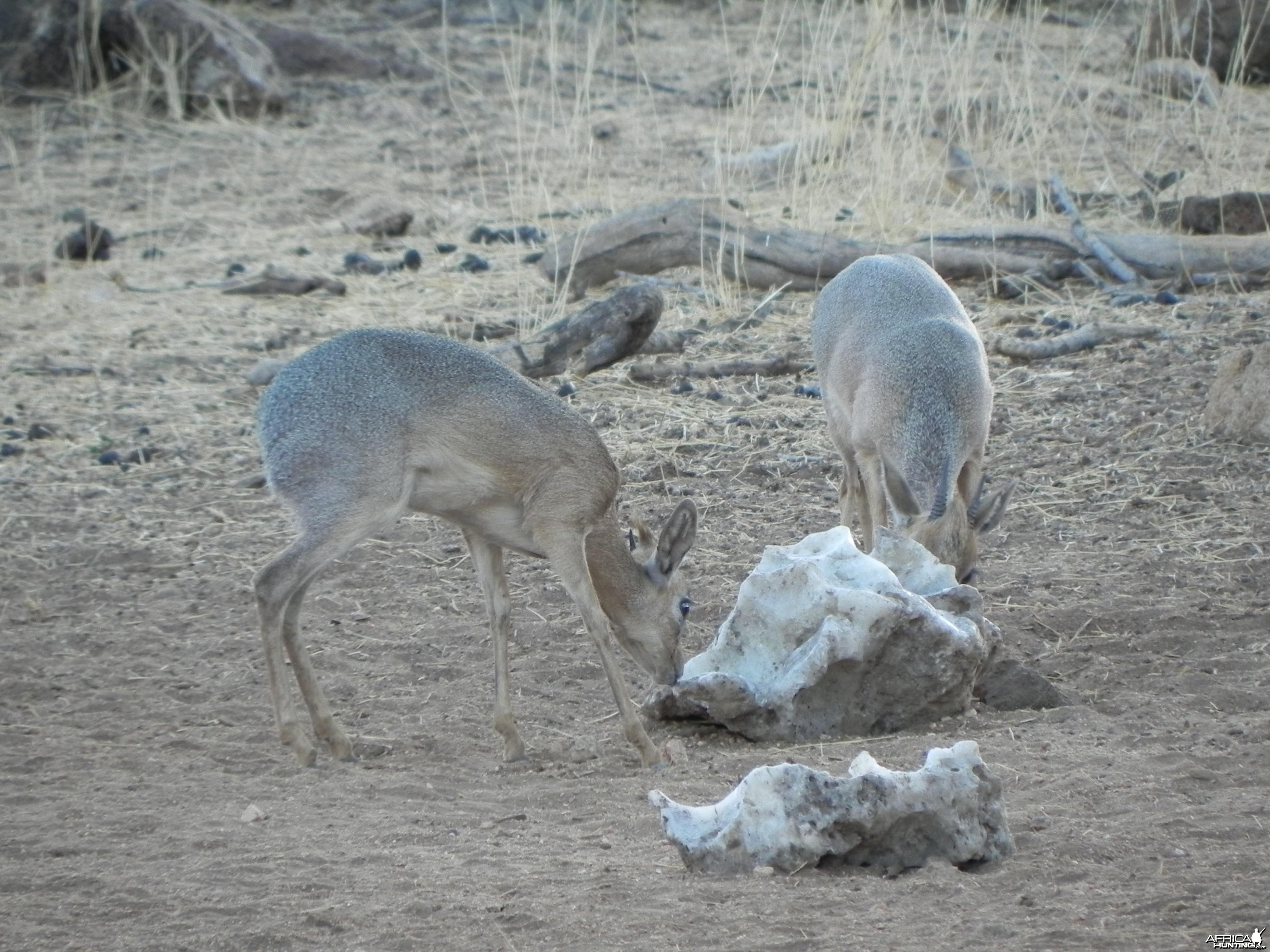 Damara Dik Dik Namibia