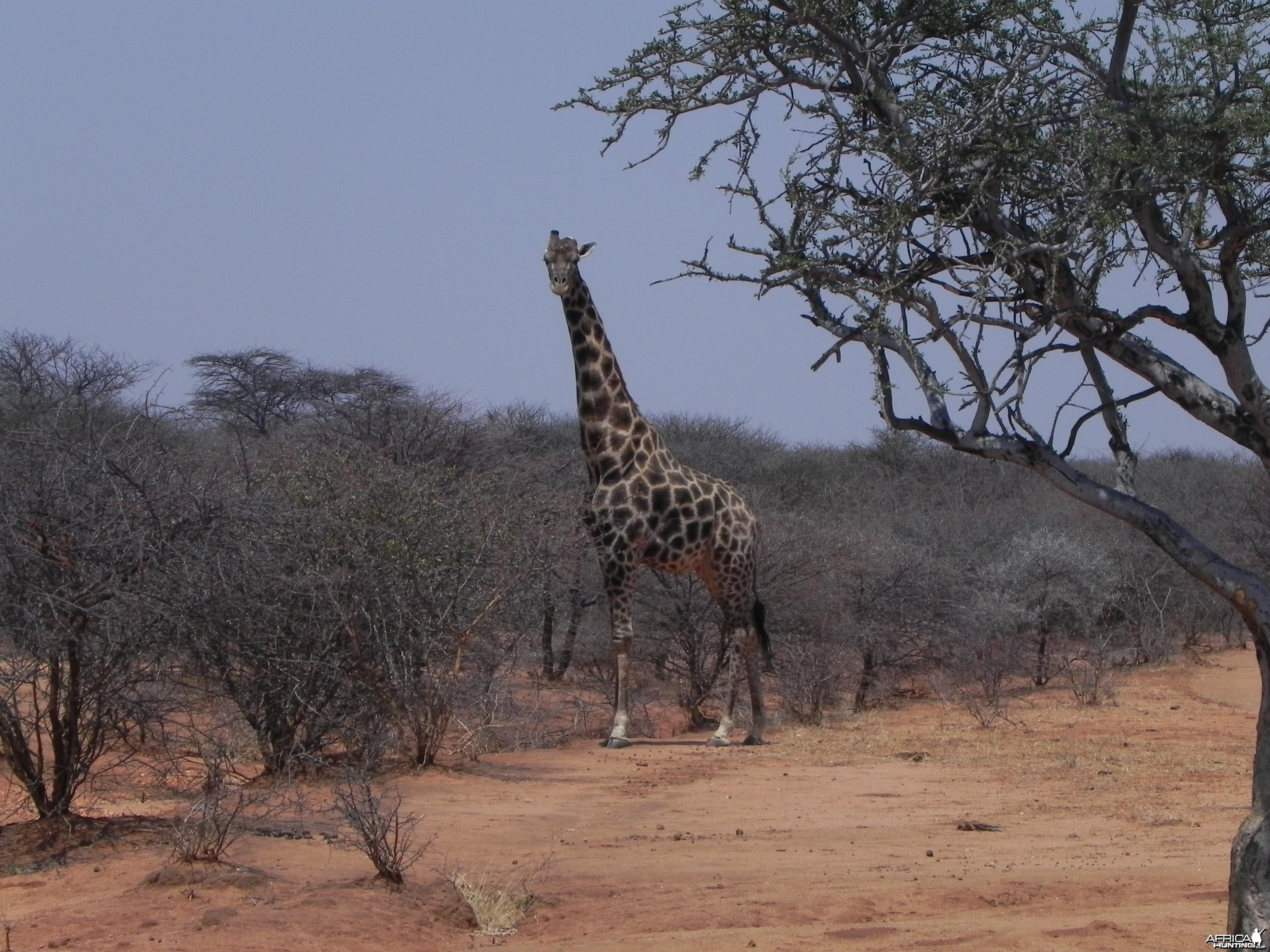 Giraffes Bull Namibia