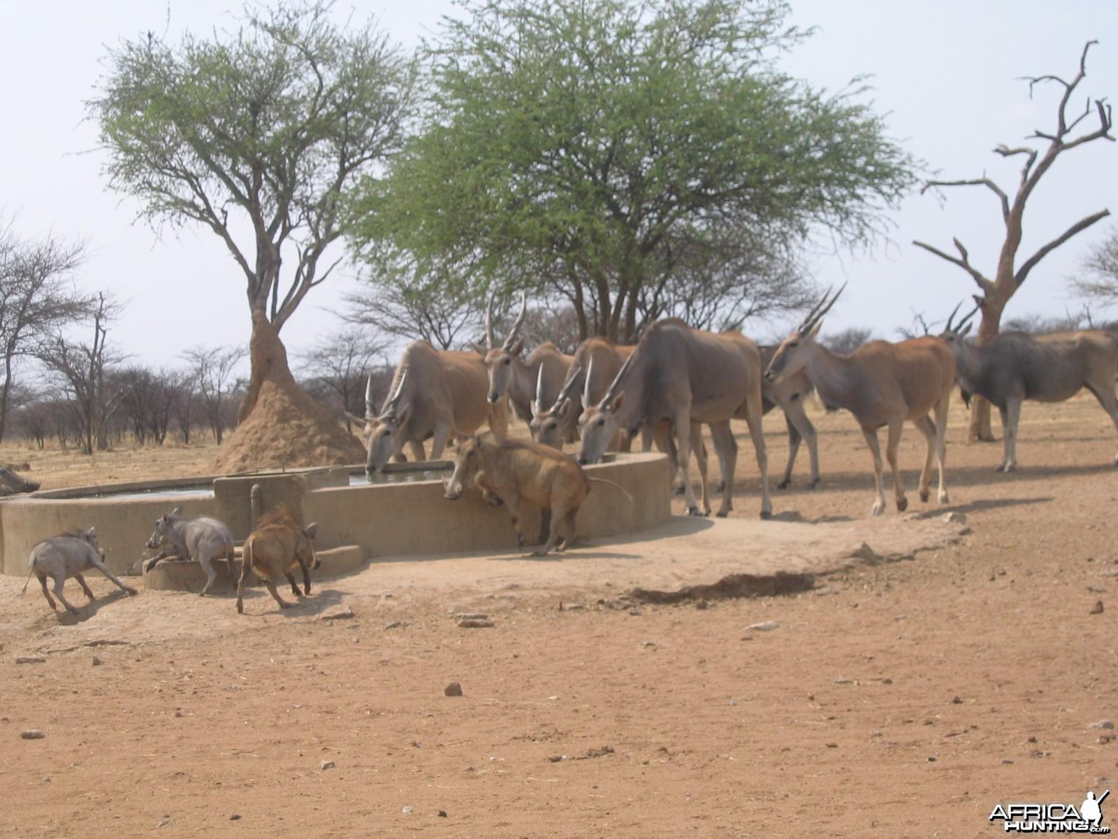 Cape Eland Namibia