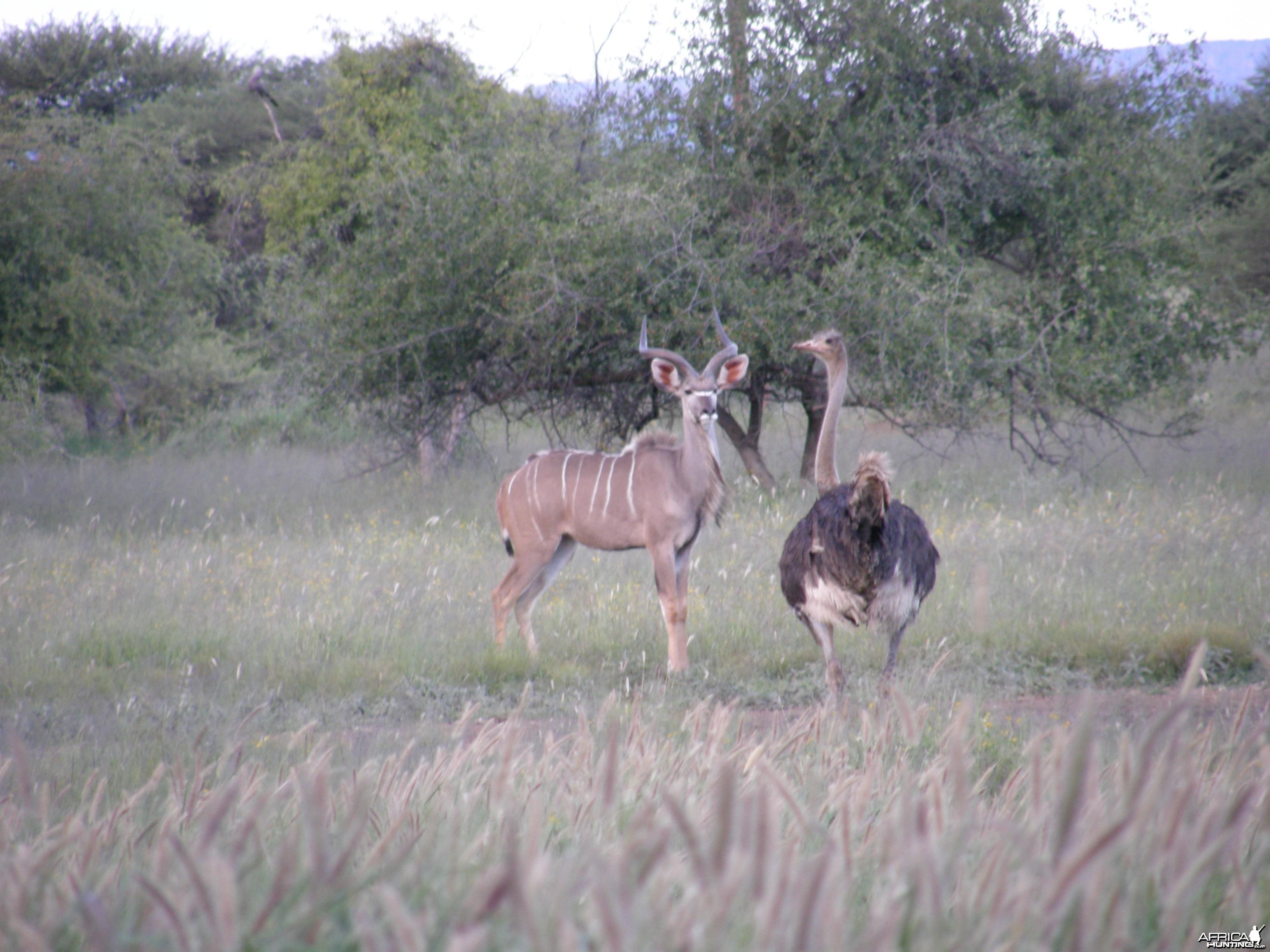 Kudu Ostrich Namibia