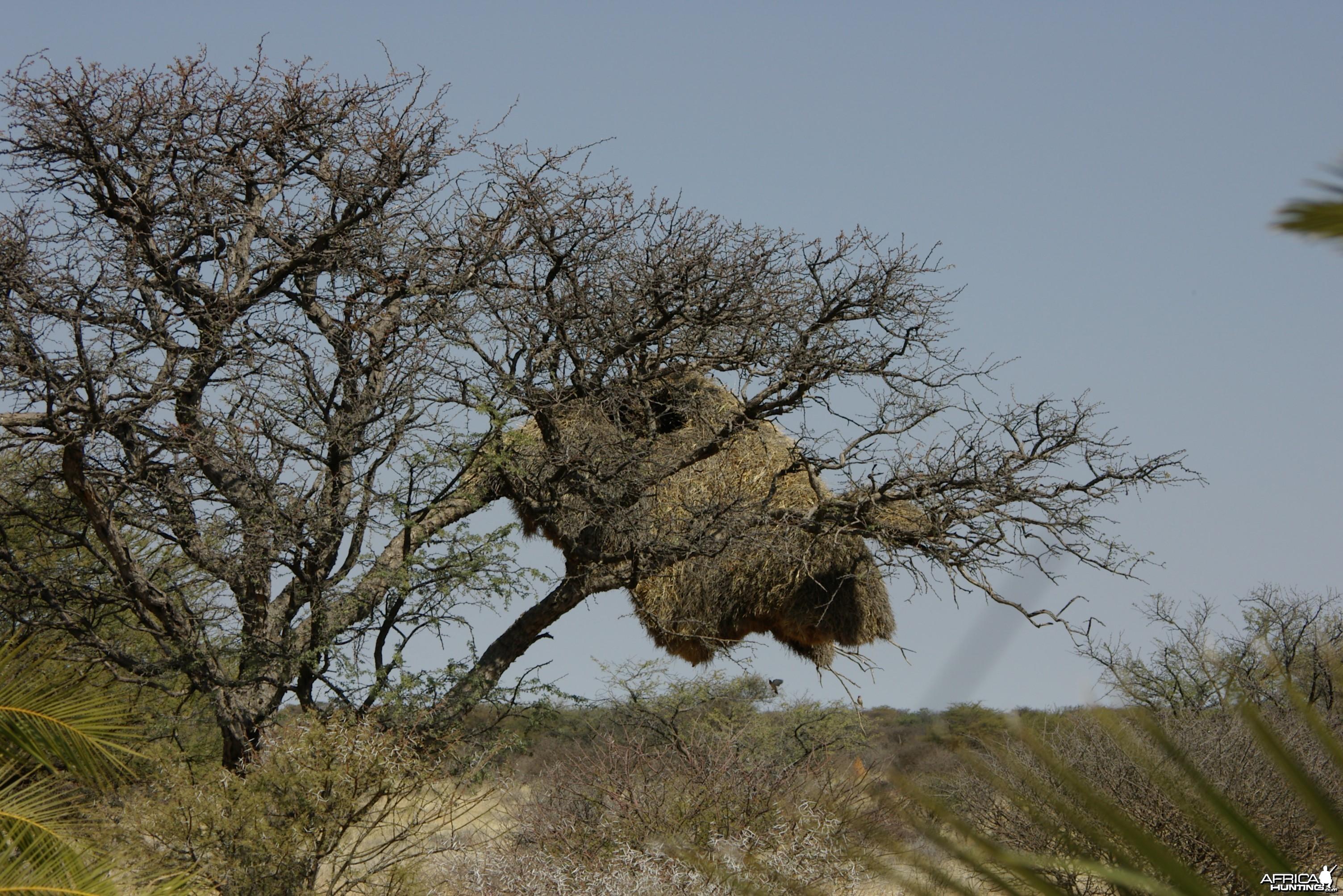 Weaver Nest Namibia