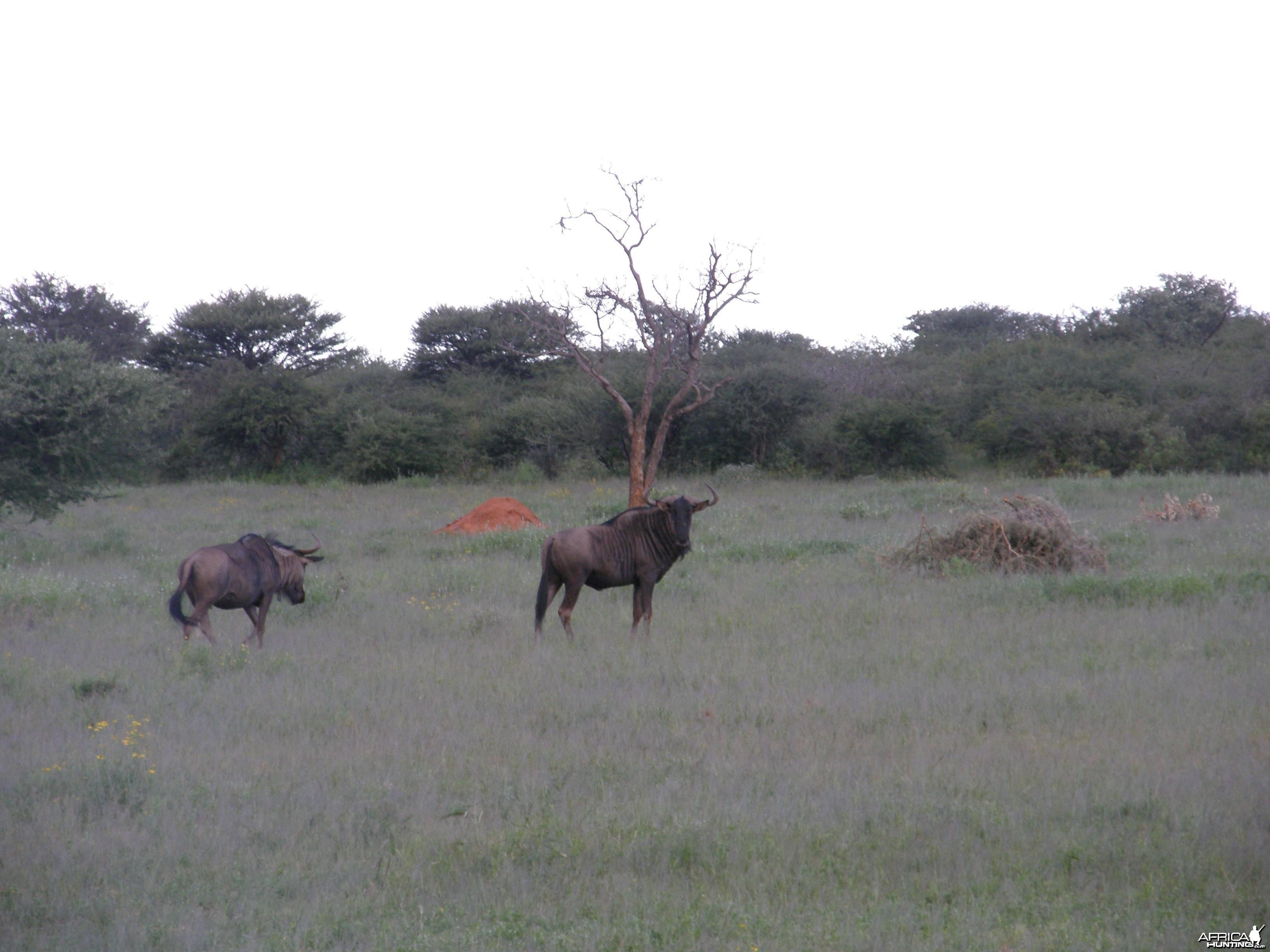 Wildebeest Namibia