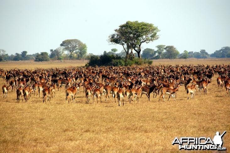 Black Lechwe Zambia