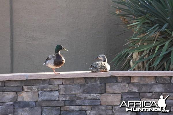 Ducks on the Pool