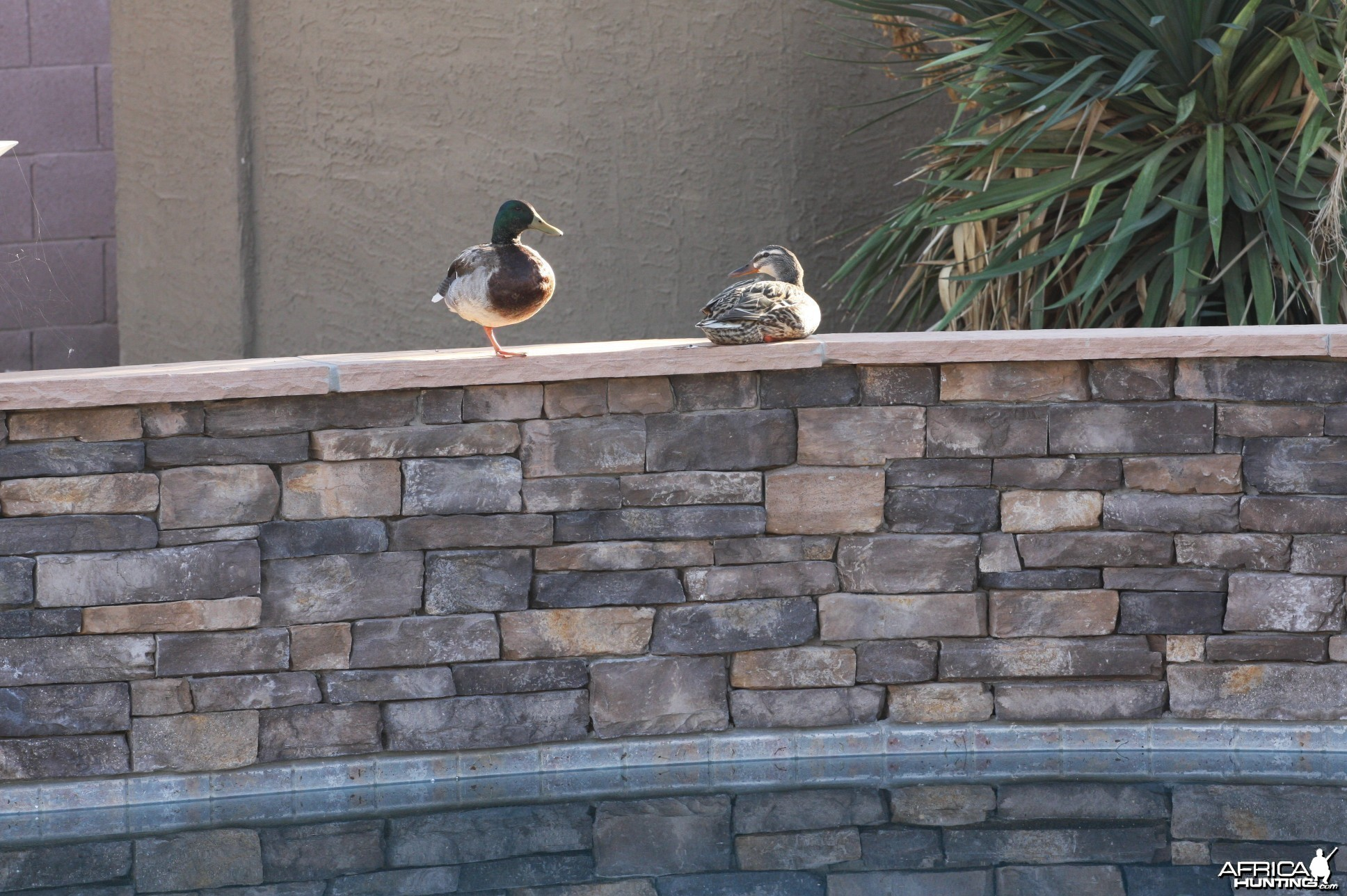 Ducks on the Pool