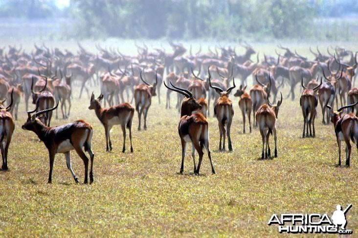 Hunting Black Lechwe Zambia
